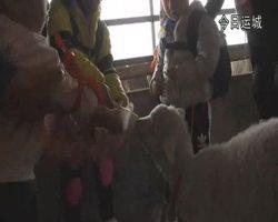 小朋友喂羊喝奶