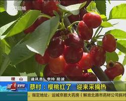 稷山蔡村:櫻桃紅了 迎來采摘熱