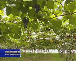 稷山县举办葡萄新品种推介会