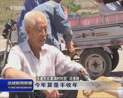 河津市旱地小麦开始收割