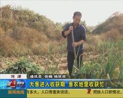 大蔥進入收獲期 蔥農地里收獲忙
